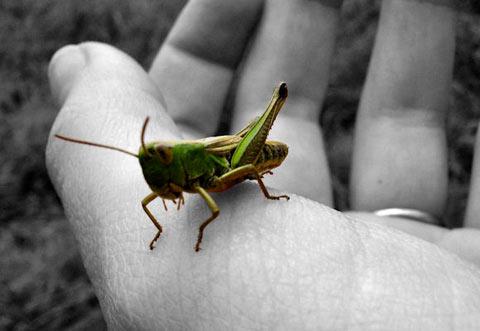 grasshopper inhand